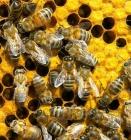فعاليات المؤتمر العالمي 2016 APIMONDIA لتربية النحل