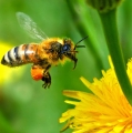 سم النحل (لسع النحل)