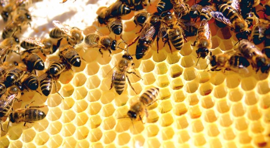 نظرة على جينات مجتمع نحل العسل